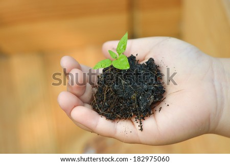 Seedling chilli in child hand - stock photo