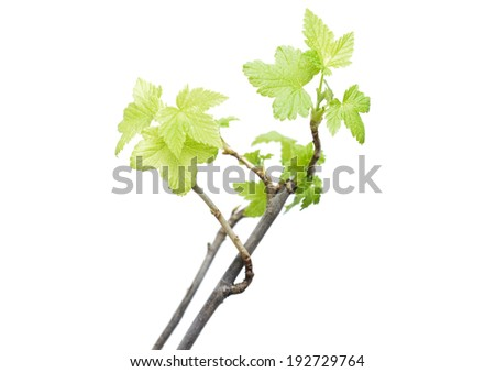 seedling currants isolated on white background