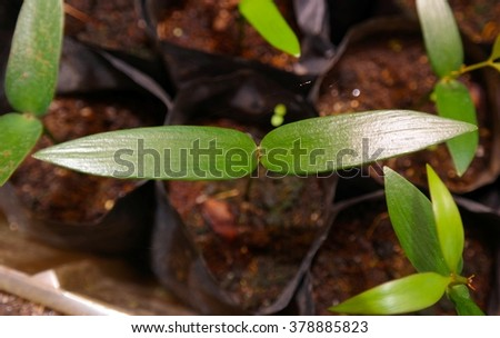 seedling growth of Agathis sp, Agriculture , Seeding , Seedling , Male hand watering young tree over green background ,seed planting