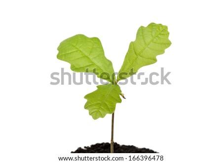 Seedling oak on white background - stock photo