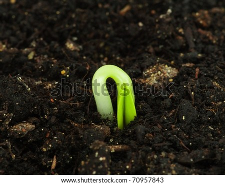 Seedling of a sunflower - stock photo