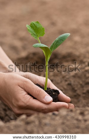 seedling of marrow with soil in woman hands - stock photo