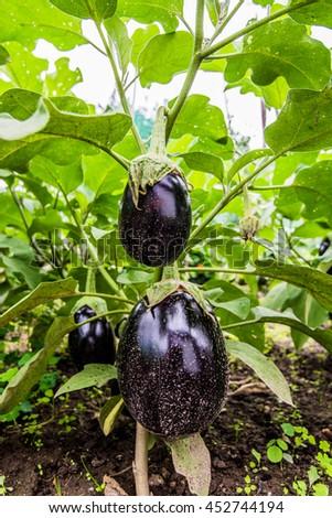 seedling of organic eggplants in an artisan Italian garden - stock photo