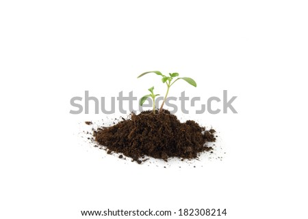 Seedling of plant of young tomato on white background. - stock photo