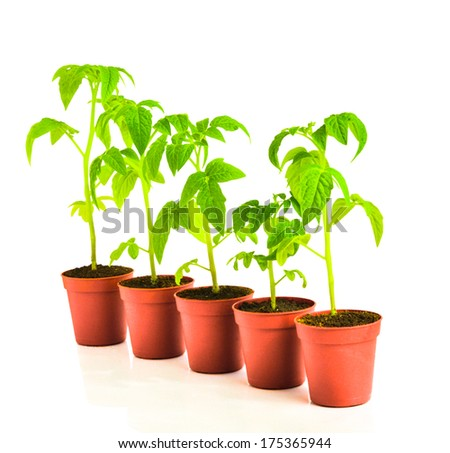 seedling of tomato plant in flowerpot is isolated on white background - stock photo