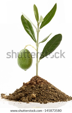 seedling olive and olive green - stock photo