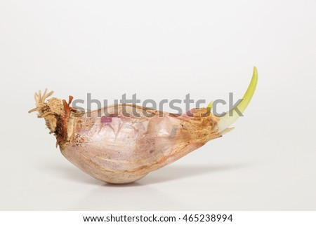 Seedling shallots or onion on white background.