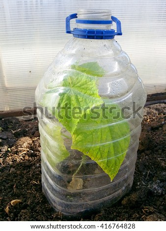 seedlings Cucumber growing in plastic bottles as small hotbeds - stock photo