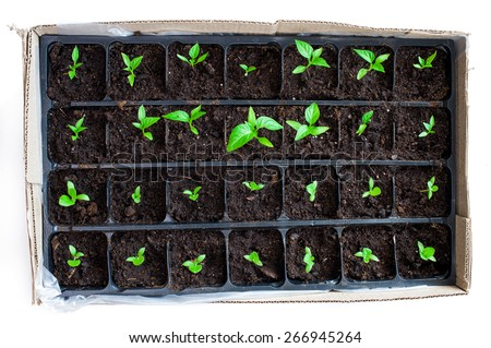 Seedlings in plastic black germination tray - top view isolated
