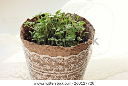 Seedlings in pot with lace - stock photo