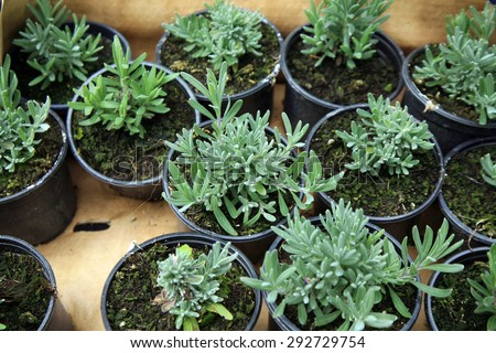 Seedlings lavender in pots ready for shipment. Nursery garden and sale of plants - stock photo