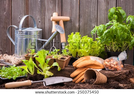 Seedlings of lettuce with gardening tools outside the potting shed - stock photo