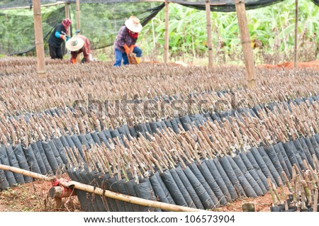 Seedlings of rubber trees on a plantation in Thailand