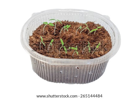 Seedlings of tomatoes in the box. Isolated object - stock photo