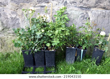 Seedlings roses in pots ready for shipment. Nursery garden and sale of plants - stock photo