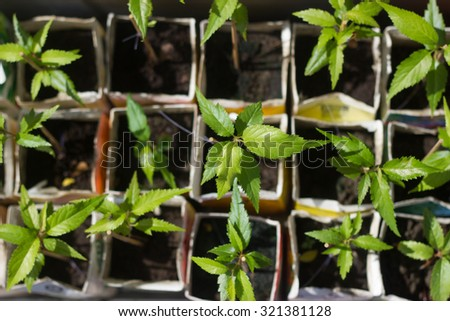 Seedlings sprouting in soil boxes - stock photo