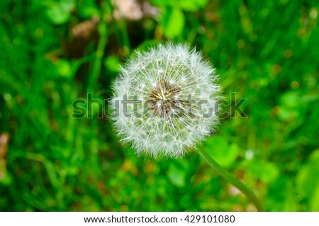 seeds of a dandelion on a background of green grass - stock photo