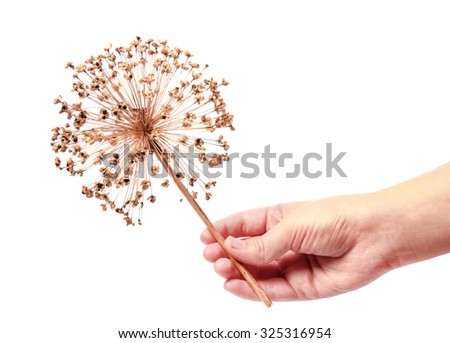 Seeds of a decorative onions all ium hold in hand - stock photo