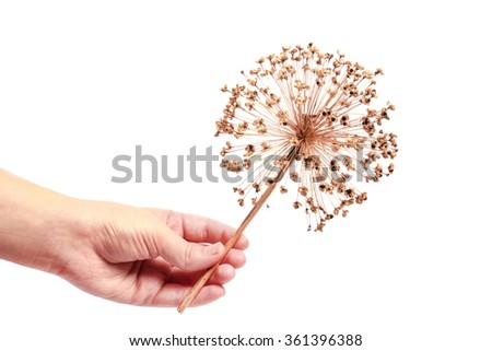 Seeds of a decorative onions alli um hold in hand - stock photo