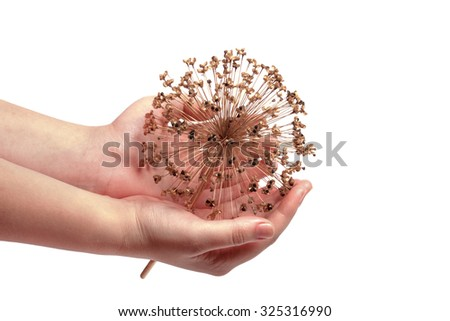 Seeds of a decorative onions allium hold in hand - stock photo