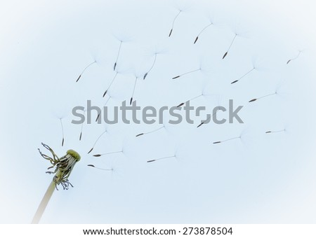 Seeds of dandelion fly away