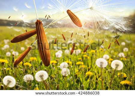 Seeds of dandelion in the wind. Dandelion seed on the sunny meadow. Detail of dandelion seed. Close up dandelion macro. - stock photo