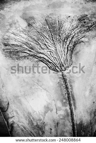 Seirocrinus subangularis  fossil - stock photo