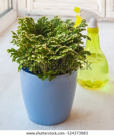 "Selaginella martensii ""Watsoniana"" and transparent yellow plastic spray bottle on the window"