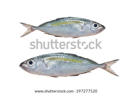 Selar crumenophthalmus ,Bigeye scad ,fish  isolated on white background , with clipping path.