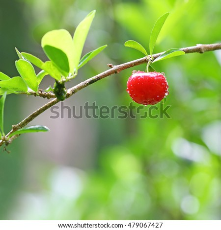 Select focus of acerola cherry on thai cherry tree with green background, soft focus