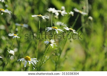 Selected focus of field of daisies - stock photo