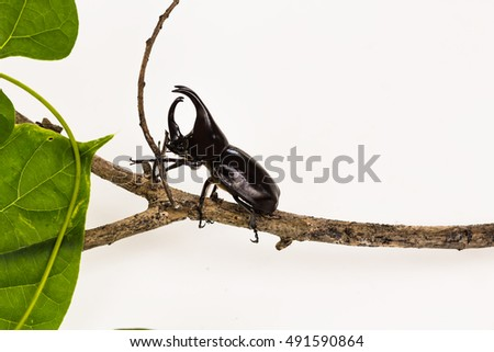 Selected focus of Male Rhinoceros beetle, Rhino beetle, Hercules beetle, Unicorn beetle  isolated on white background with clipping path