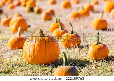 Selecting pumpkin from pumpkin patch in early Autumn.