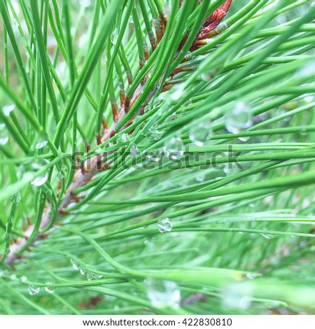 Selection Close Up Pine tree Branch - stock photo