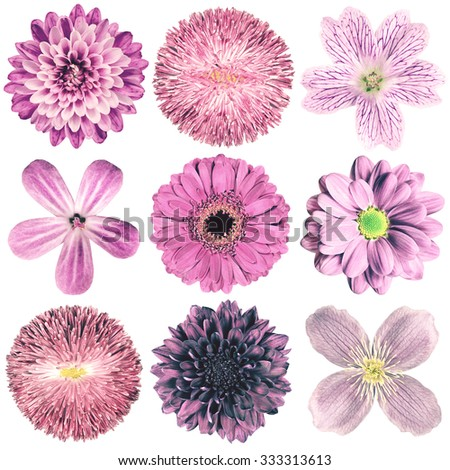 Selection of Various Flowers in Purple Vintage Retro Style Isolated on White Background. Daisy, Chrystanthemum, Cornflower, Dahlia, Iberis, Primrose, Gerbera, Rose.