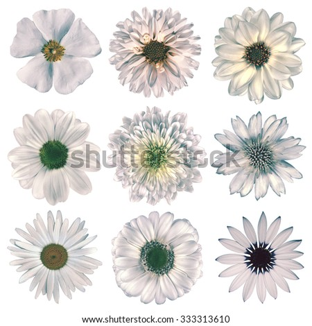 Selection of Various Flowers in White Vintage Retro Style Isolated on White Background. Daisy, Chrystanthemum, Cornflower, Dahlia, Iberis, Primrose, Gerbera, Rose.