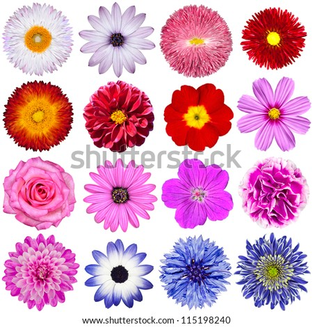 Selection of Various Flowers Isolated on White Background. Red, Pink, Purple, White Colors including rose, dahlia, marigold, zinnia, straw flower, sunflower, daisy, primrose - stock photo