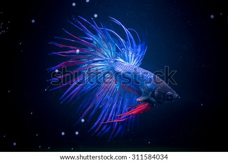 Selective focus and one dramatic lighting on the top  of Betta fish (Crown Tail)  or Siamese fighting fish (betta)on black background - stock photo