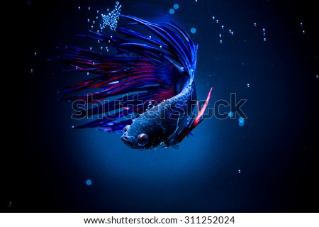 Selective focus and one dramatic  lighting on the top  of betta fish (Crown Tail) Siamese fighting fish (betta) and buble on black background - stock photo
