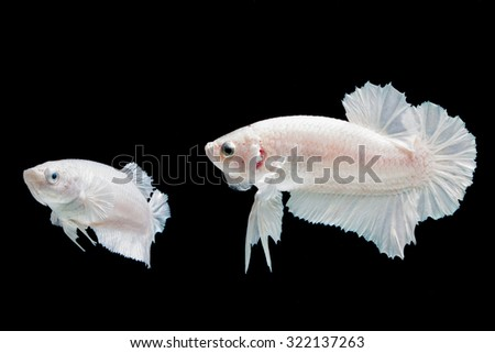 Selective focus and one dramatic lighting on the top of breeding Betta fish(white platinum) or Siamese fighting fish on black background