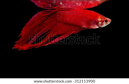 Selective focus and one dramatic lighting on the top of Red Siamese fighting fish (betta)on black background