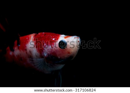 Selective focus and one dramatic lighting on the top  of Siamese fighting fish (betta)on black background