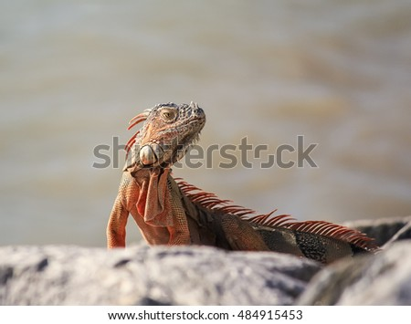 Selective focus and shallow dof on Orange Iguana (Iguana iguana) sunning on rocks in Key West, Florida.