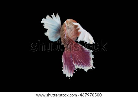 selective focus,close up a tail of Fighting fish when it turn back with black background