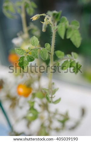 Selective focus close up view of fuzzy stemmed tomato plant with yellow fruit attached