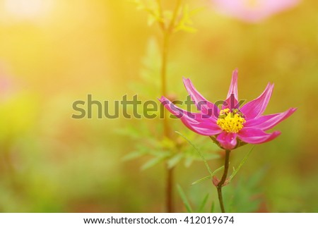 Selective focus Cosmos flowers in the summer garden and Cross process filter and soft focus and soft flare