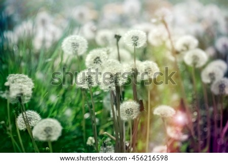 Selective focus dandelion seeds in green grass - beautiful meadow