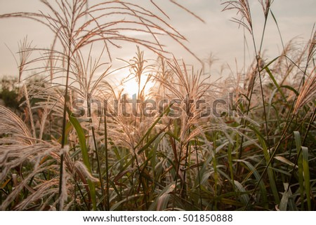 Selective focus,Field of grass and nature background on lighting sunset.