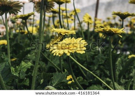 selective focus image of yellow blooming Gerbera plant in the nursery.blurred background at sunny day - stock photo