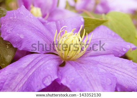 Selective focus of a clematis bloom./ Purple Clematis - stock photo